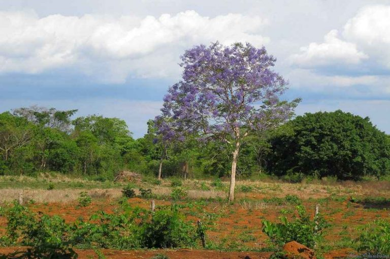 Native Jacaranda in a Brazilian Landscape