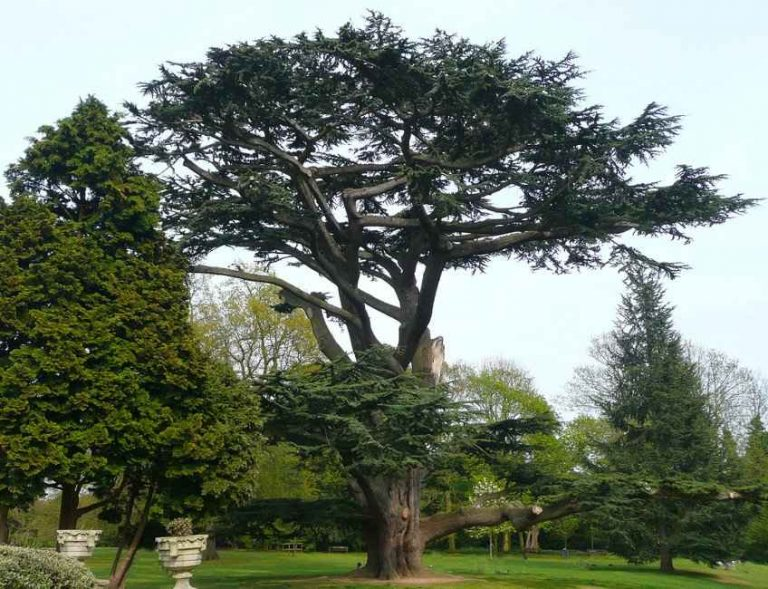 Cedrus libani Tree of Forty Hall, Enfield, Planted in the Eighteenth Century