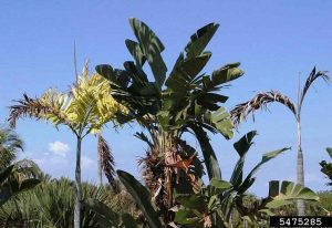 Correcting Nitrogen Deficiency in Ornamental Trees - Nitrogen deficiency on Palm - © Tim Broschat, Symptoms of Palm Diseases and Disorders, USDA APHIS ITP, Bugwood.org
