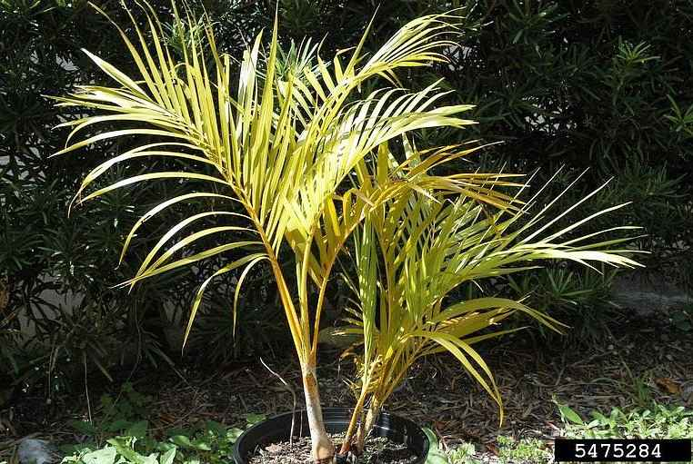 Correcting Nitrogen Deficiency in Ornamental Trees - Symptoms of Nitrogen deficiency on Palm - © Tim Broschat, Symptoms of Palm Diseases and Disorders, USDA APHIS ITP, Bugwood.org