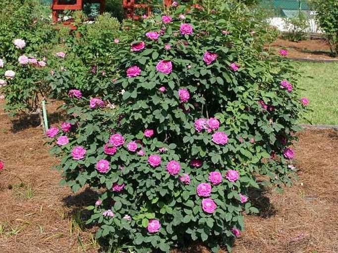 Queen of the Violets Rose in Full Blooming at Sunny Exposure