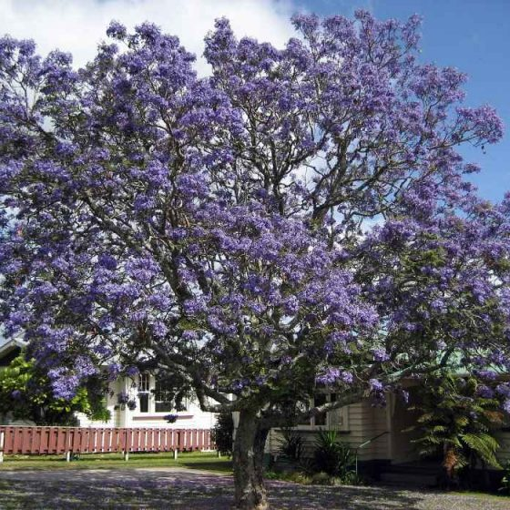 Jacaranda mimosifolia in Full Blooming