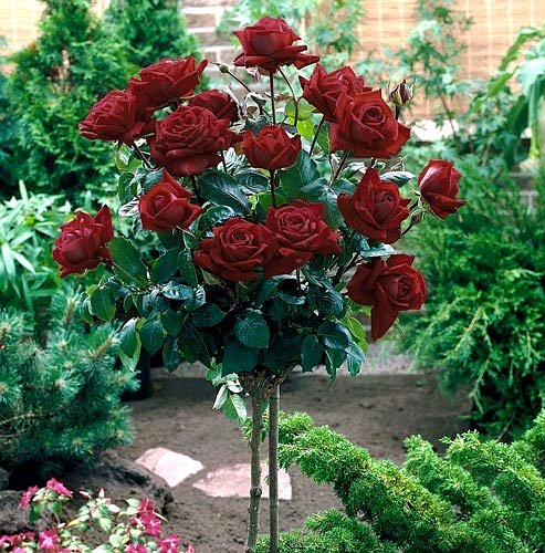 Black Baccara Hybrid Tea Rose - Black Baccara rose formed in tree