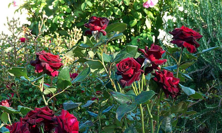 Black Baccara Hybrid Tea Rose - Blooming Roses of Black Baccara variety