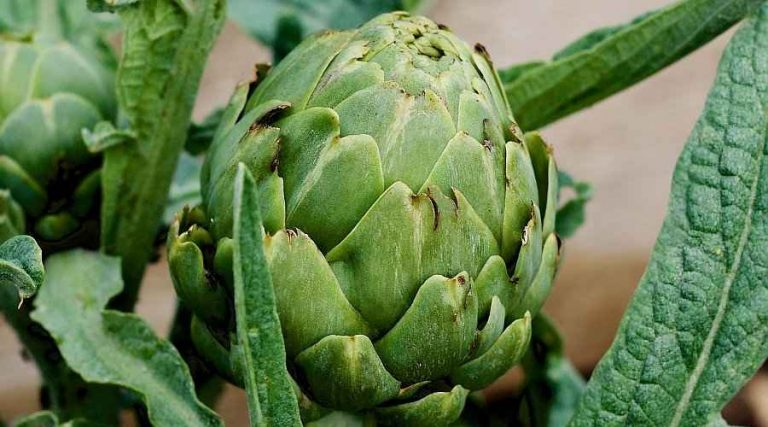 Growing Globe Artichokes in Vegetable Garden - Globe Artichoke Bud