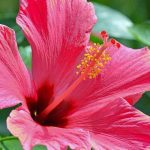 Light Red Flower of Chinese Hibiscus
