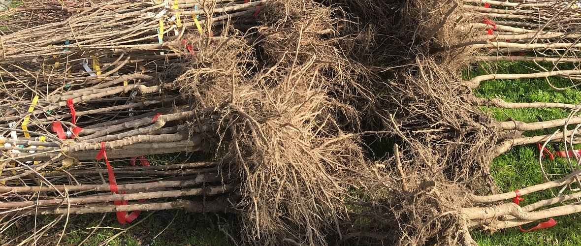 Bare Root Fruit and Nut Trees for Sale