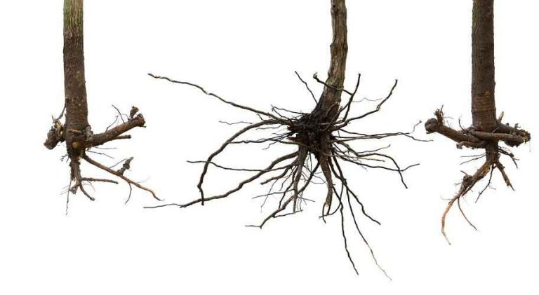 About Bare Root Trees Planting - Bare Root Trees Roots Before & After Pruning