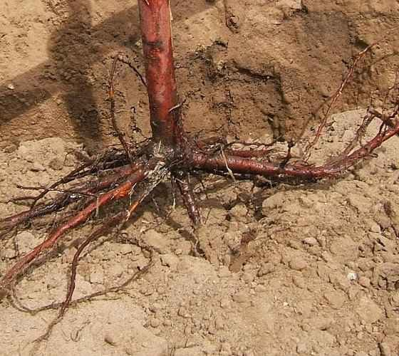 How to Plant Bare Root Trees - Roots of a Bare Root Tree in the Hole