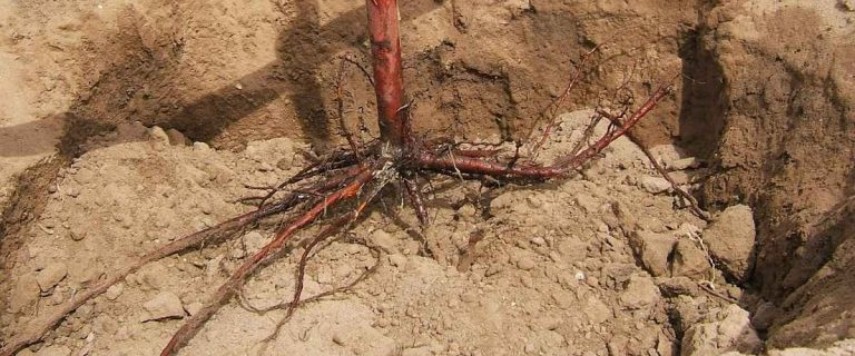 Roots of a Bare Root Tree in the Planting Hole