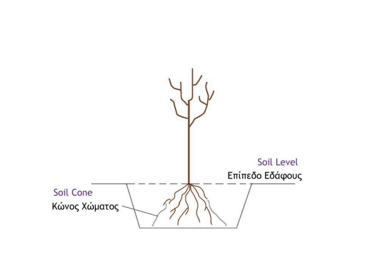 How to Plant Bare Root Trees - Soil Level and Soil Cone for Bareroot Tree Planting