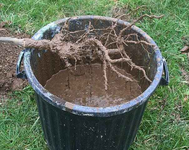 Soaking Roots in Water before Planting