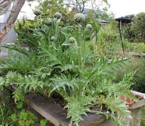 Growing Globe Artichokes in Vegetable Garden - Globe Artichoke Plants in Raised Bed