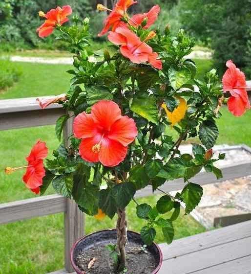 Chinese Hibiscus - Description, Care And Uses