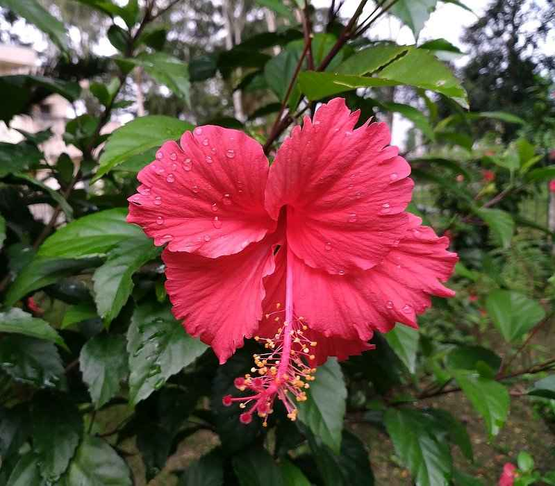 Hibiscus Care: Chinese Hibiscus - Description, Care And Uses