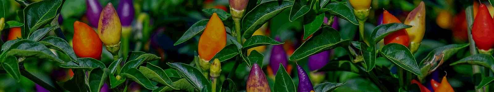 Vegetable Garden Plants - Cultivation of Hot Chili Pepper