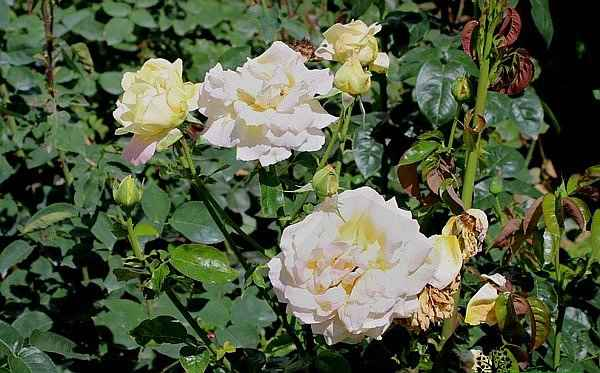 Rosa Peace (syn. 'Madame A. Meilland') Shrub in Blooming