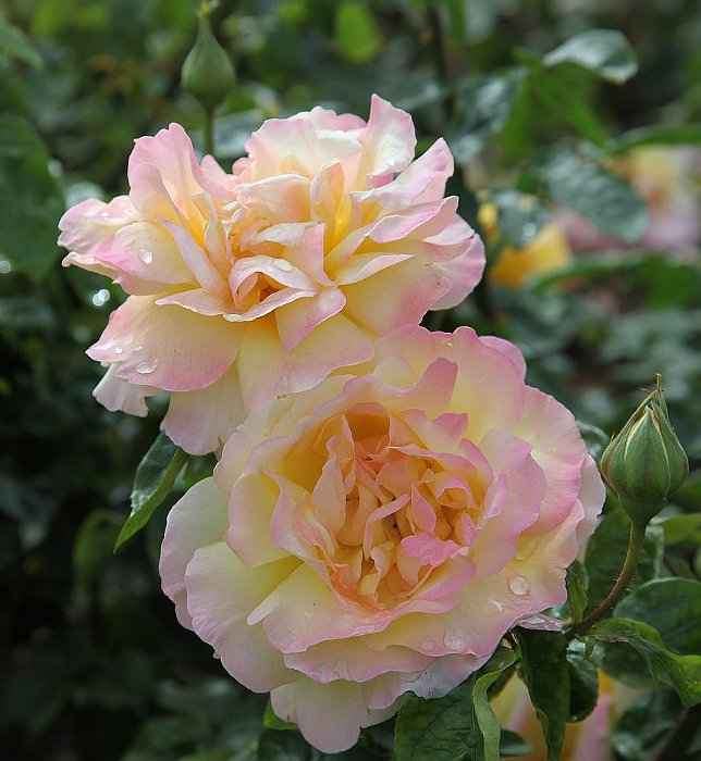 The Mature Flowers of Peace Rose (syn. 'Madame A. Meilland')