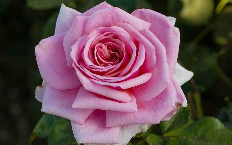 The Fragrance Pink Flower of Aloha Rose
