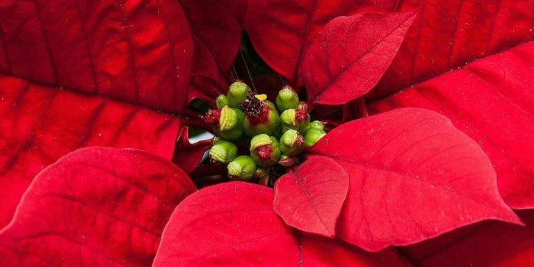 Poinsettia Care and Reflowering - Poinsettia's Flowers and Red Leaves or Bracts