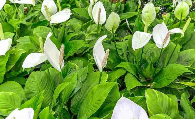 Spathiphyllum wallisii - Peace Lily Blooming Plants