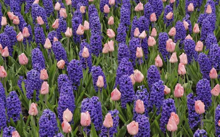 When, Where and How to Plant Hyacinths - Blue Hyacinths With Pink Tulips in Blooming