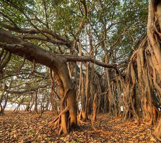 Aerial Prop Roots of Banyan Tree