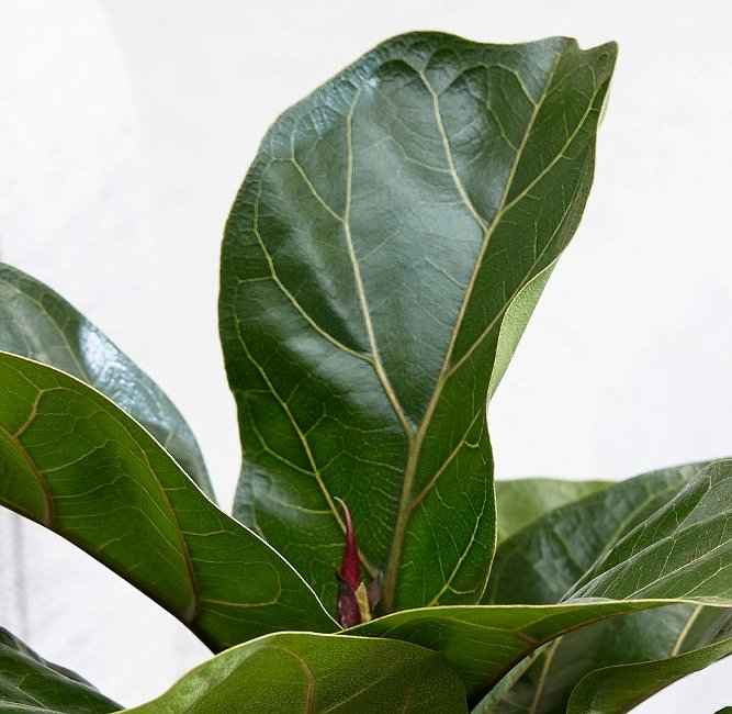 Fiddle Leaf Fig Tree Close-up to Leaves