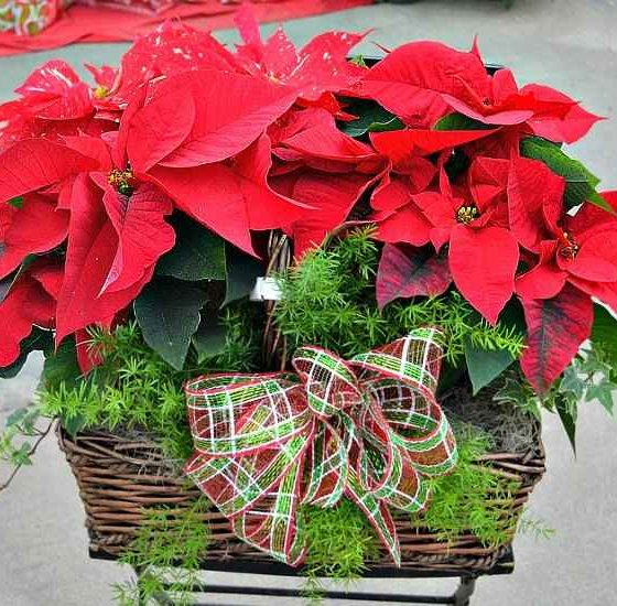 Poinsettia Care and Reflowering - Poinsettia, the Classic Christmas Plant