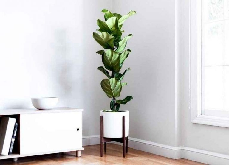 Ficus lyrata - Fiddle Leaf Fig Tree Indoor