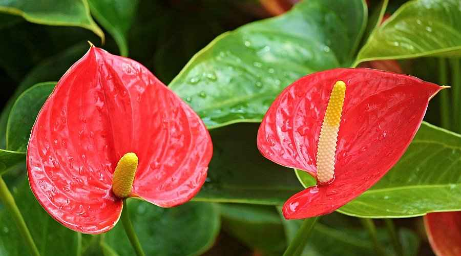 Anthurium andraeanum (Flamingo Flower) in Blooming