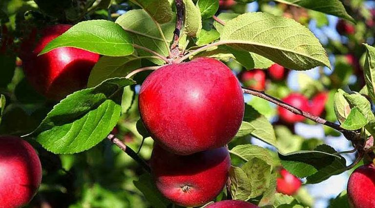 Growing Apples in Home Garden - Mature Red Apples on Tree