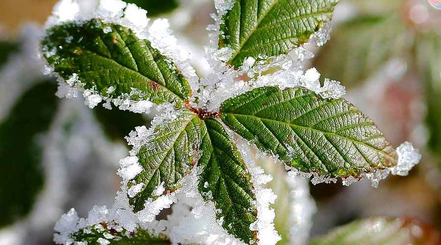 Frost on Ornamental Plant Leaves