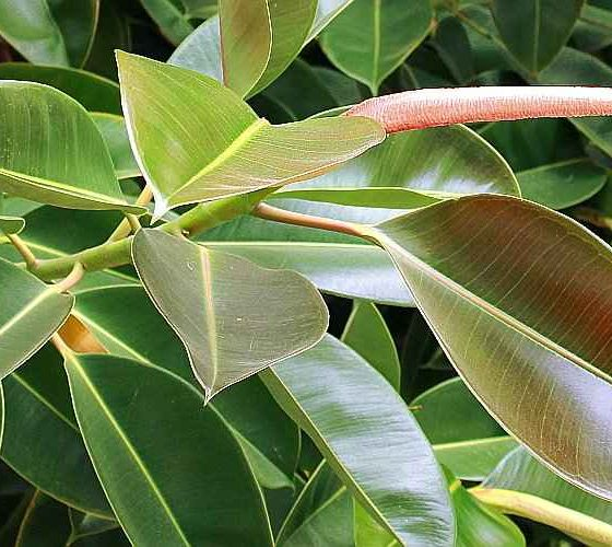 Rubber Plant (Ficus elastica) Growing Outdoor