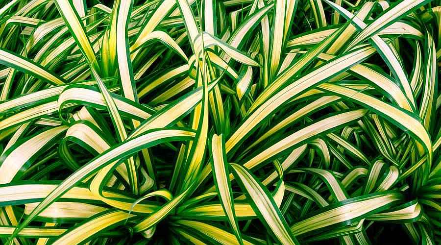 Spider Plant Variegate Leaves