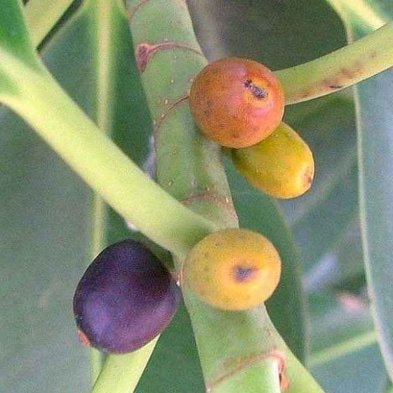 Rubber Plant (Ficus elastica) Mature Fruits - Figs or Syconiums
