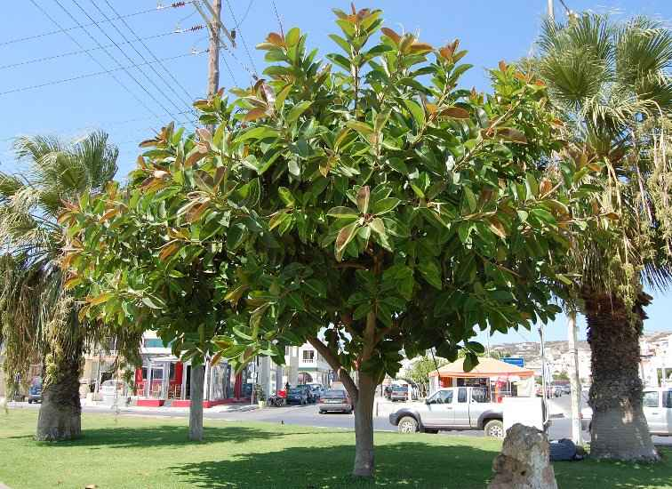 Rubber Plant (Ficus elastica) in Sitia of Crete Island - Greece