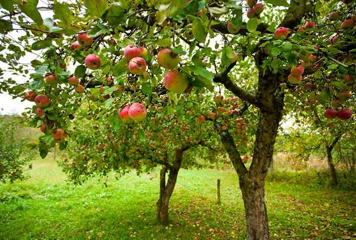 Small Apple Home Orchard