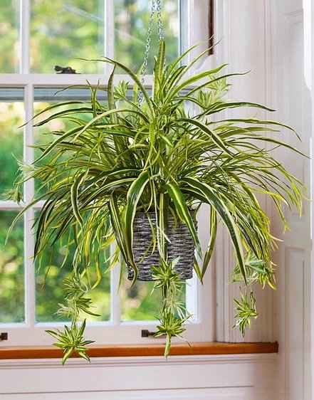Variegate Spider Plant (Chlorophytum comosum) - Great-looking Hanging Spider Plant Indoor