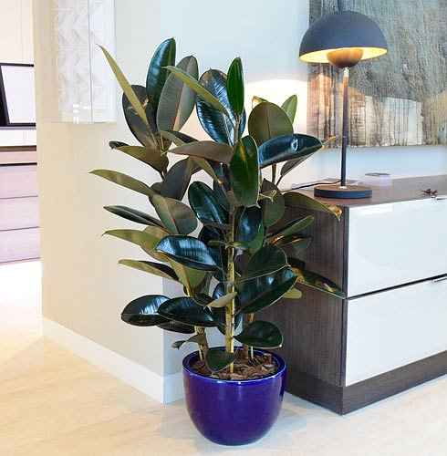 Rubber Plant (Ficus elastica) as Interior in Extremely Colored Pot