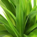 Varieties of Spider Plant - Chlorophytum comosum 'Lemon'