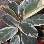 Varieties of Ficus elastica – Ficus elastica 'Doescheri'