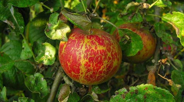 Podosphaera leucotricha Caused Russeting on an Apple Fruit