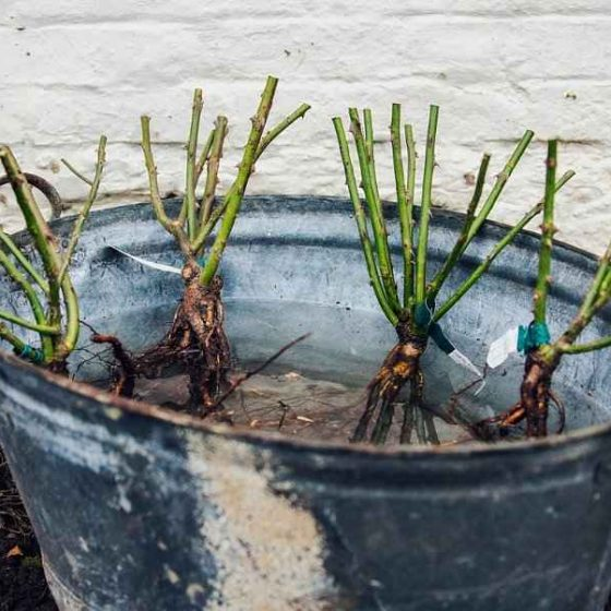 Rose Planting in Garden, Pots & Containers - Bare Root Climbing Roses in a Bucket of Water