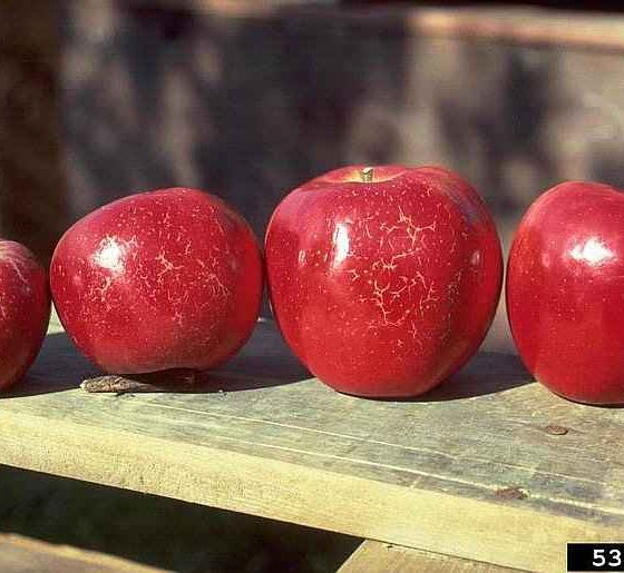 'Russeting' of Apple Fruits Caused by Podosphaera Leucotricha - © N.S. Luepschen, Bugwood.org