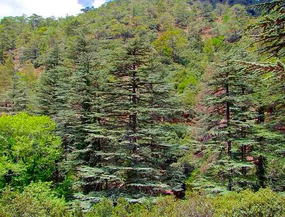 Cedrus brevifolia forest in the Troodos Mountains, Cyprus