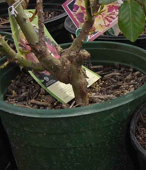 Rose Planting in Containers - Grafted Rose Plant in Container