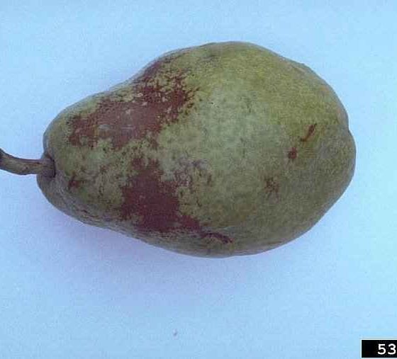 Apple Powdery Mildew Caused Russeting on a Pear Fruit - © N.S. Luepschen, Bugwood.org