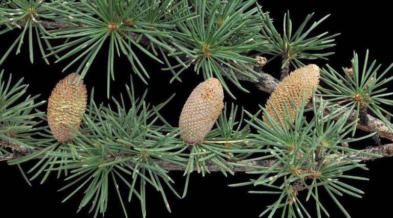 Branch with 3 male cones of Cedrus atlantica (Atlas cedar - Genus Cedrus)