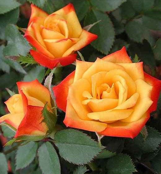 Rose Planting in Garden, Pots & Containers - Micro Miniature Rose 'Pieces of Eight'